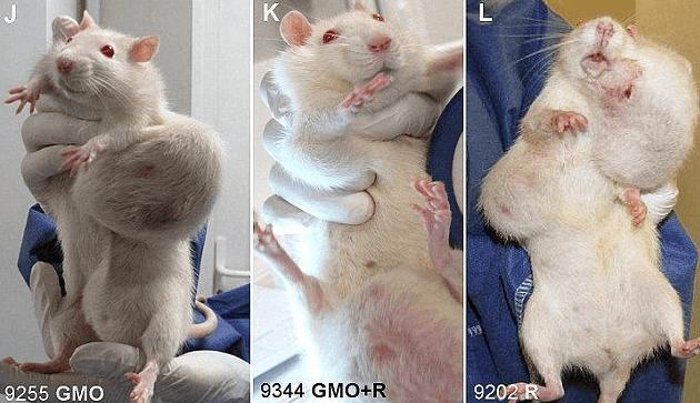 遺伝子組み換えトウモロコシキングコーンを食べたネズミ
