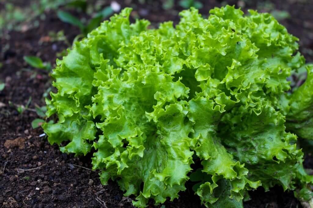 レタスは栄養価が低い野菜。リーフレタスとは別物